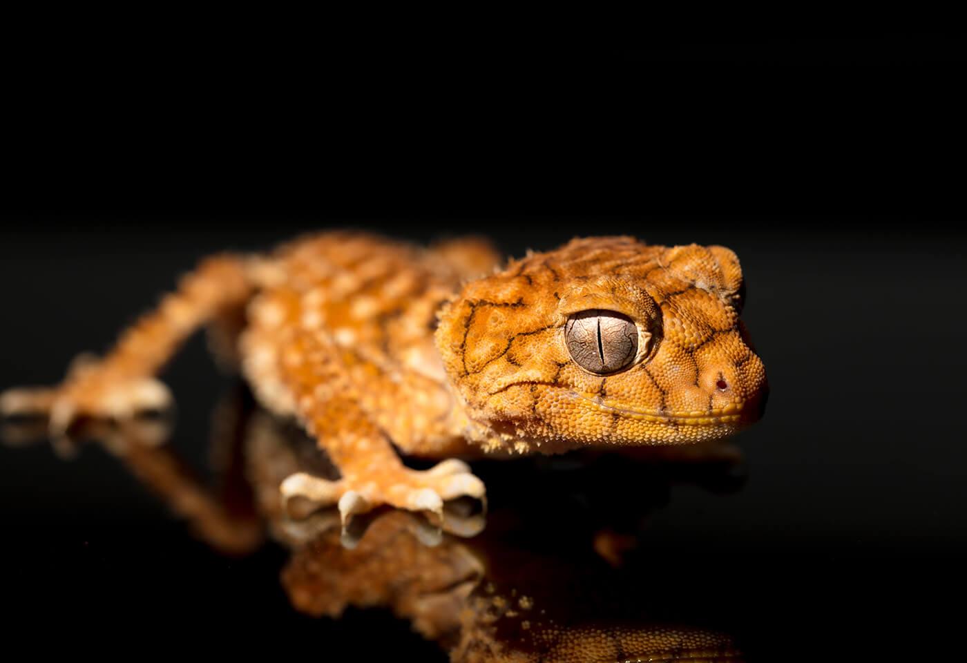 Macro Chameleon