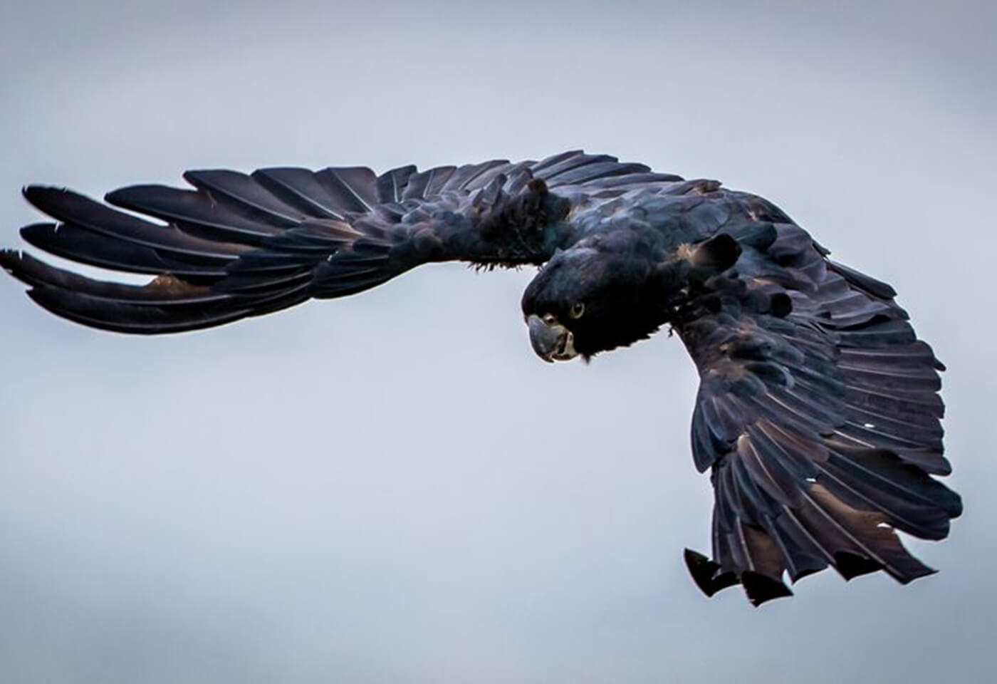 black bird wings spread flying