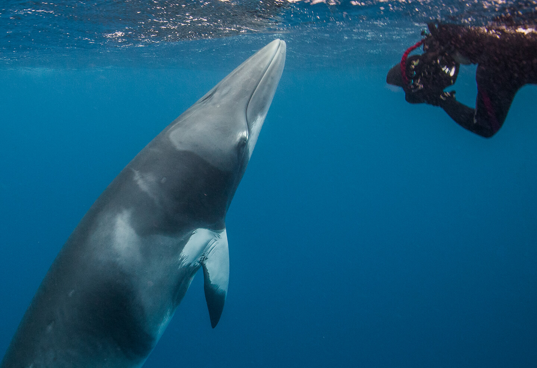 Underwater image of Minke whale