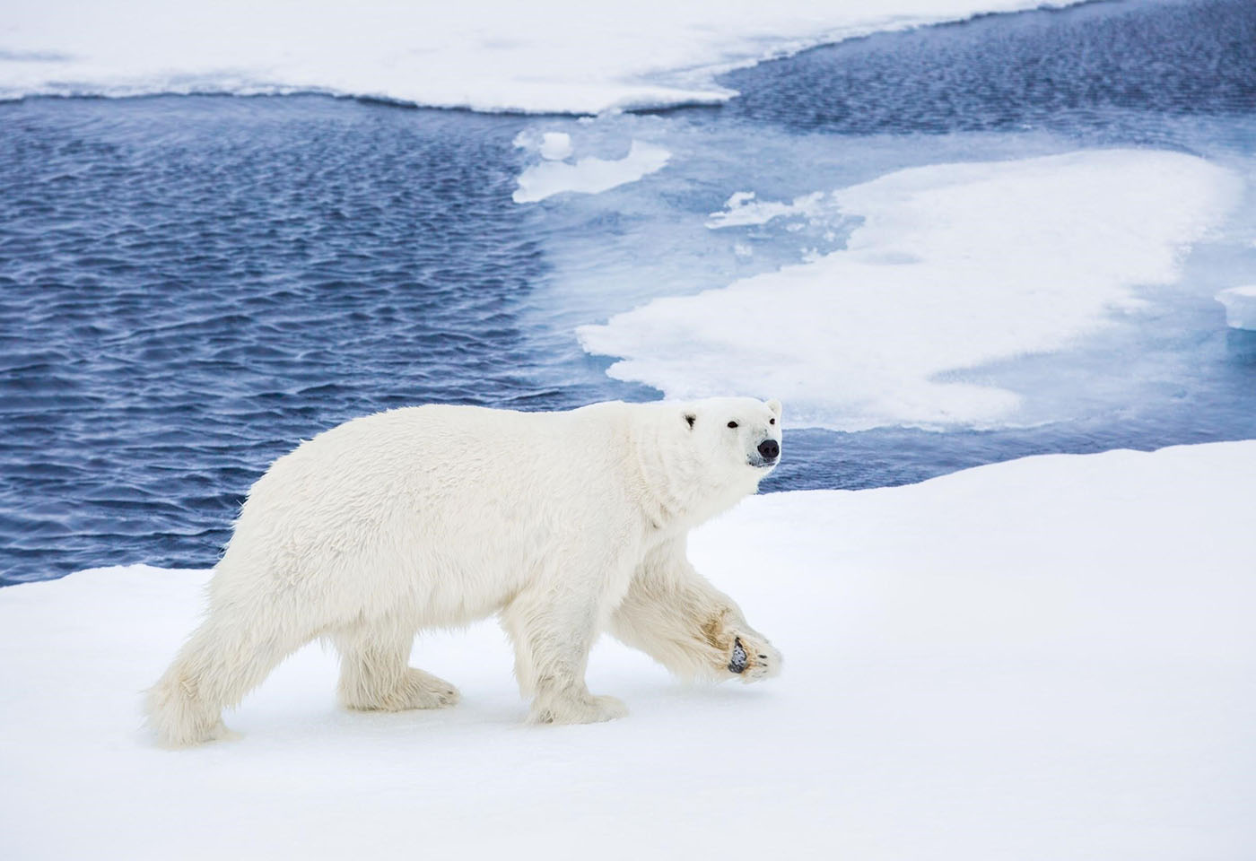 Landscape image of polar bear in the artic