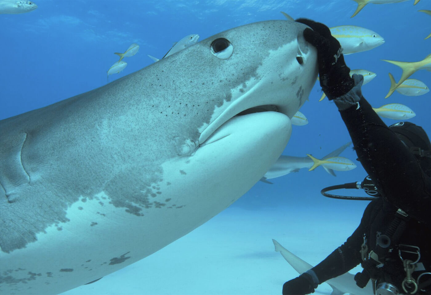 Takes by light image of diver patting a shark