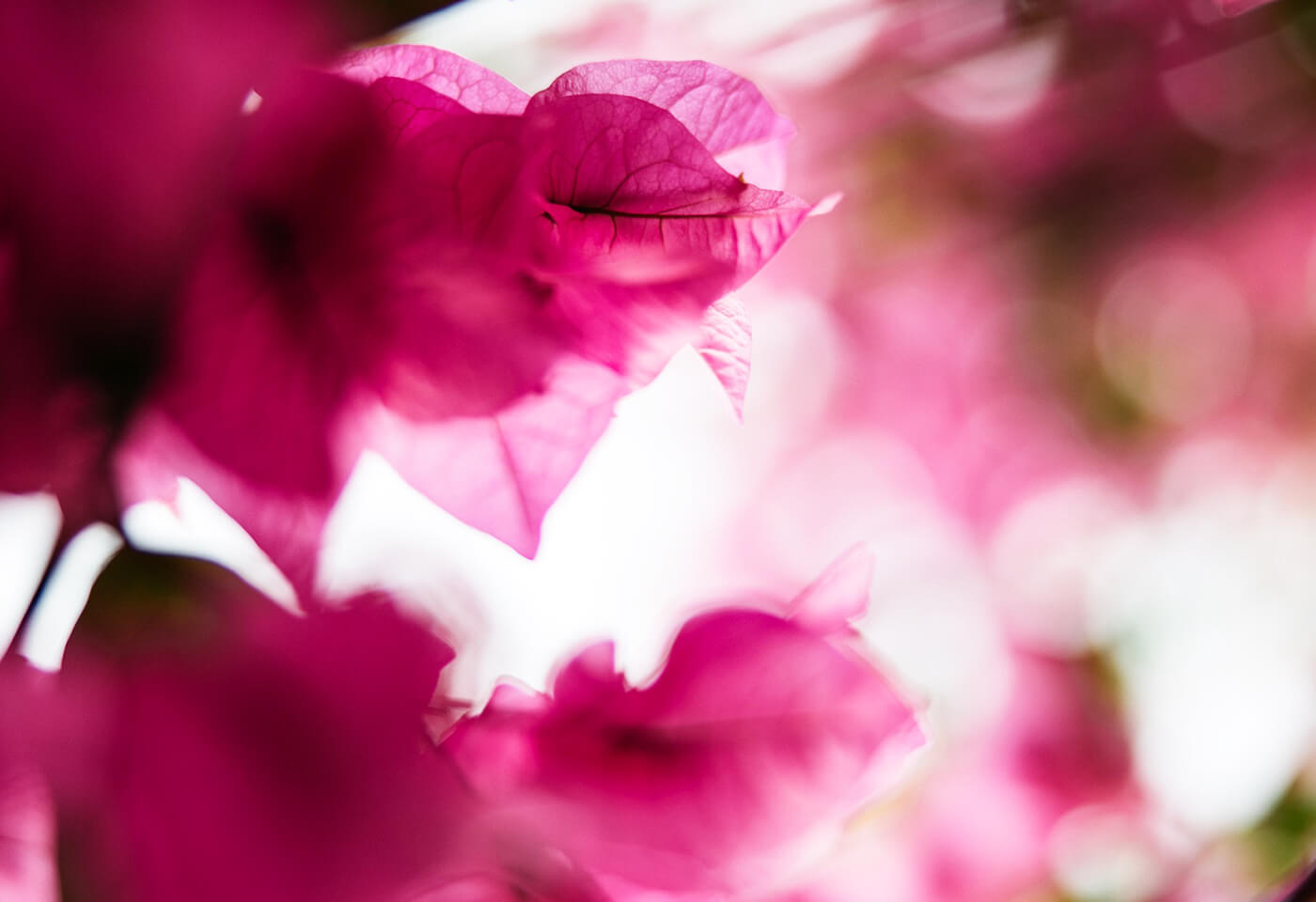 Bougainvillea Macro Photography