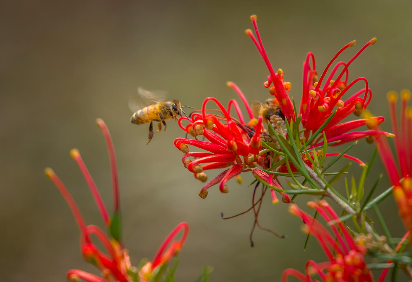Macro image of bee by Greg Sullavan