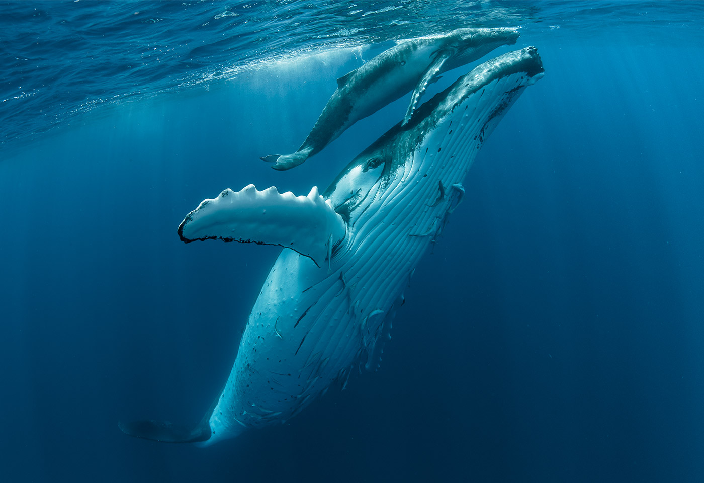 Whales swimming
