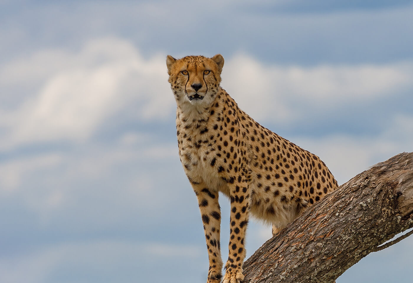 Image of cheetah taken by Kass Brumley at the Sydney Zoo
