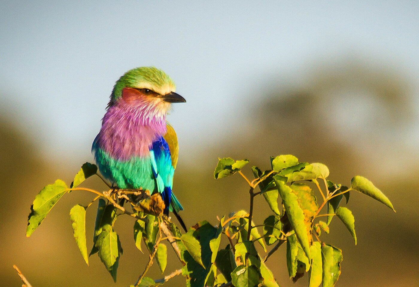 Colourful Roller bird in a tree