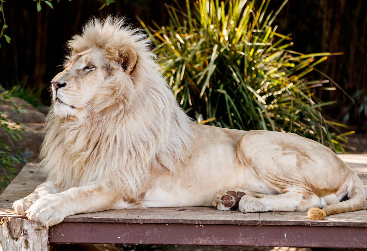 Lion in zoo