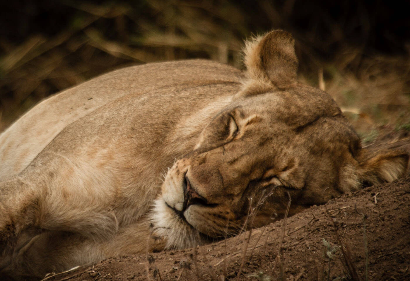 Portrait image of lion