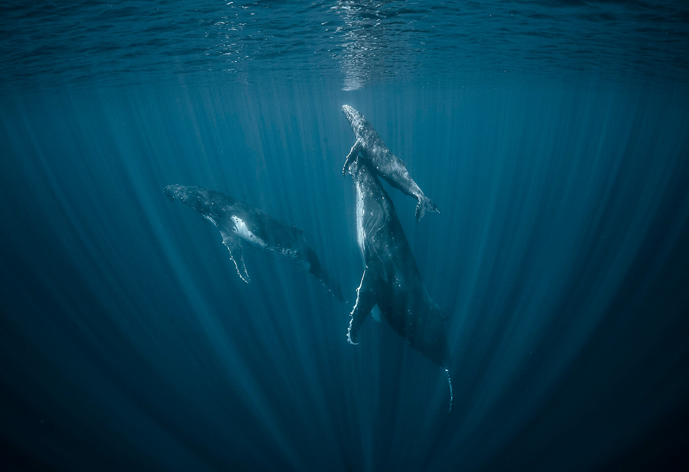Whales swimming underwater