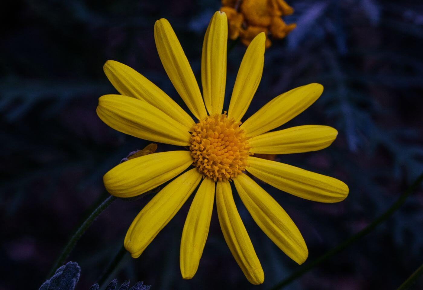 Close up of a sunflower