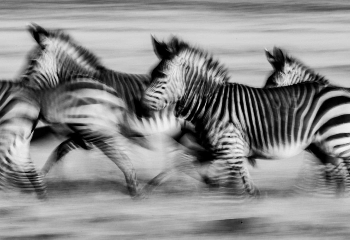 Zebras running Jay C