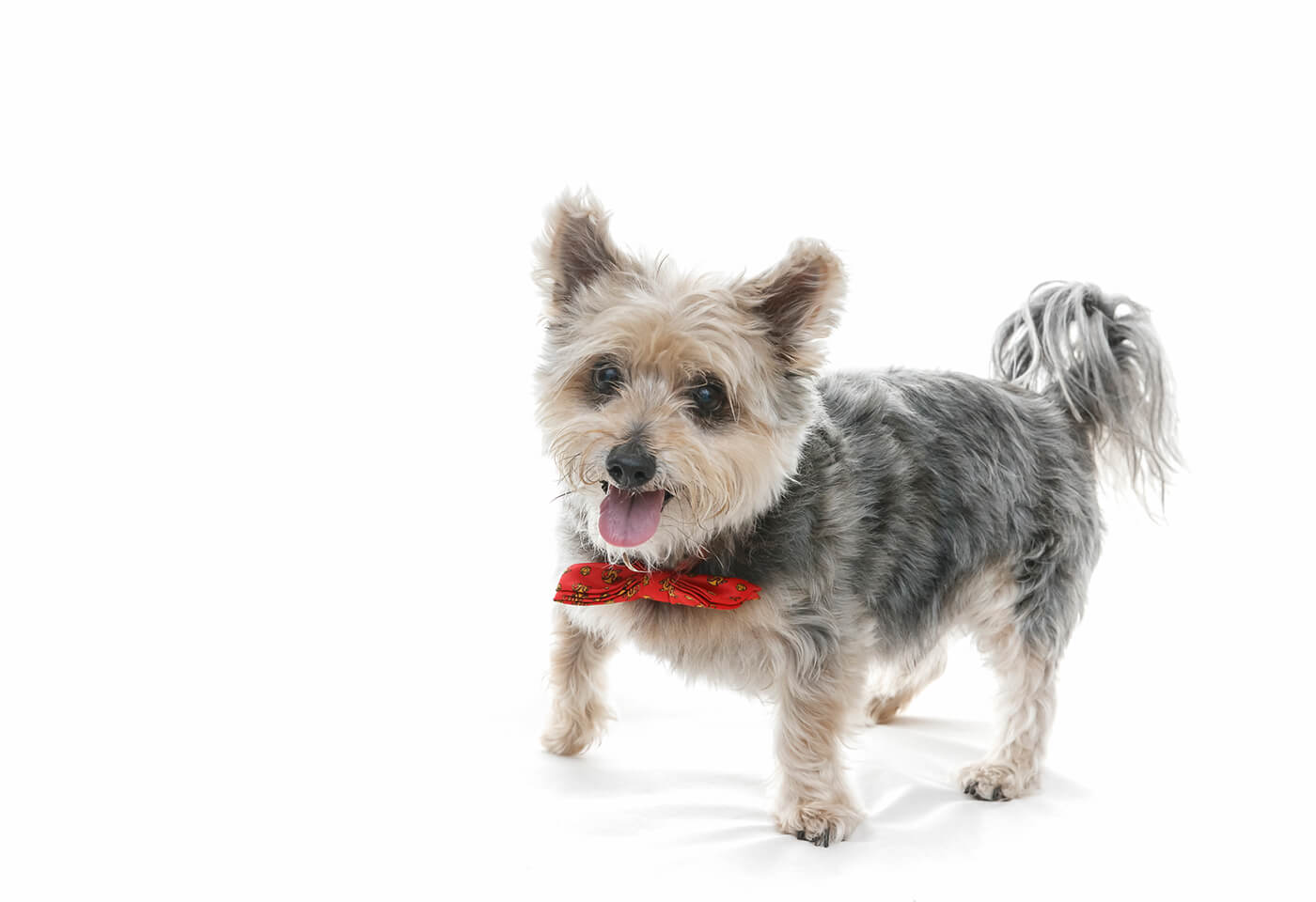 Studio photography of pet terrier by Scott Stramyk