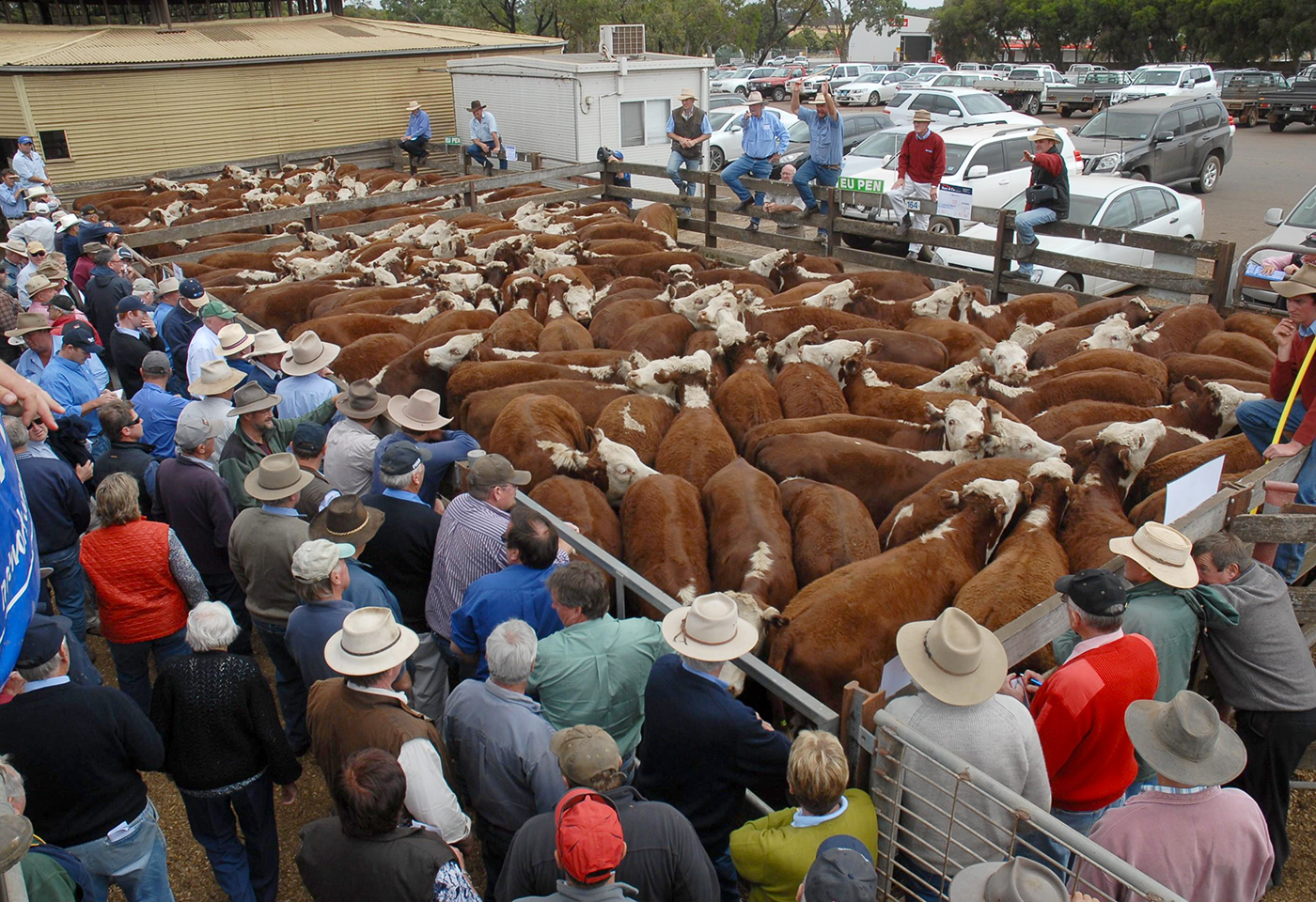 Cattle at sales yard