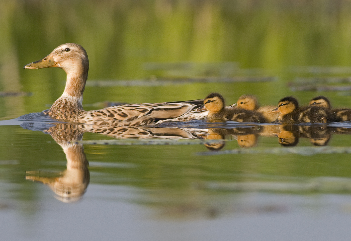 Mother duck swimming with ducklings following