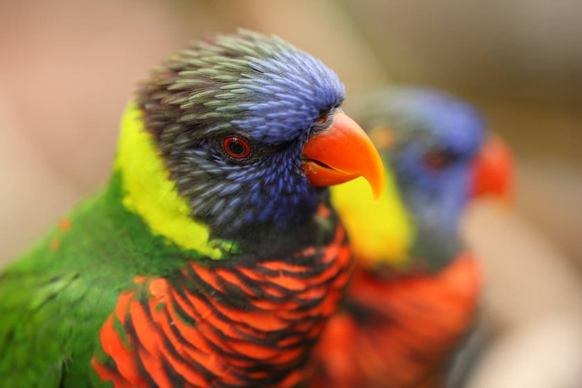 Image of colourful parrots taken with EF 100mm f/2.8L Macro IS USM