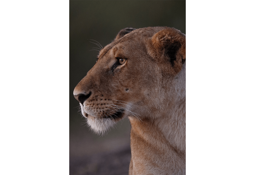 Photo of lioness taken with EF 400mm f/2.8L IS III USM Lens