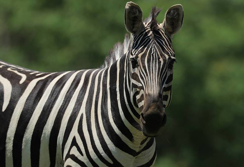 Photograph of zebra taken with EF 600mm f/4L IS III USM Lens