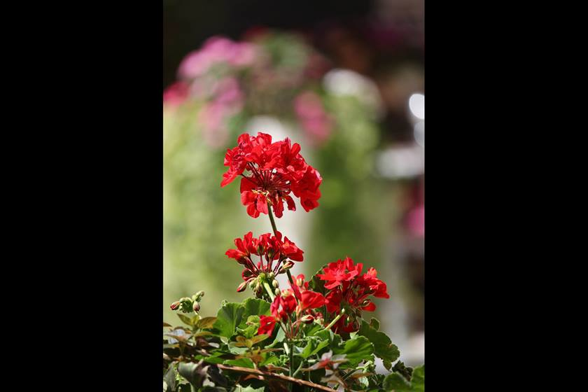 Image of red flowers taken with EF-S 55mm f/4-5.6 IS STM