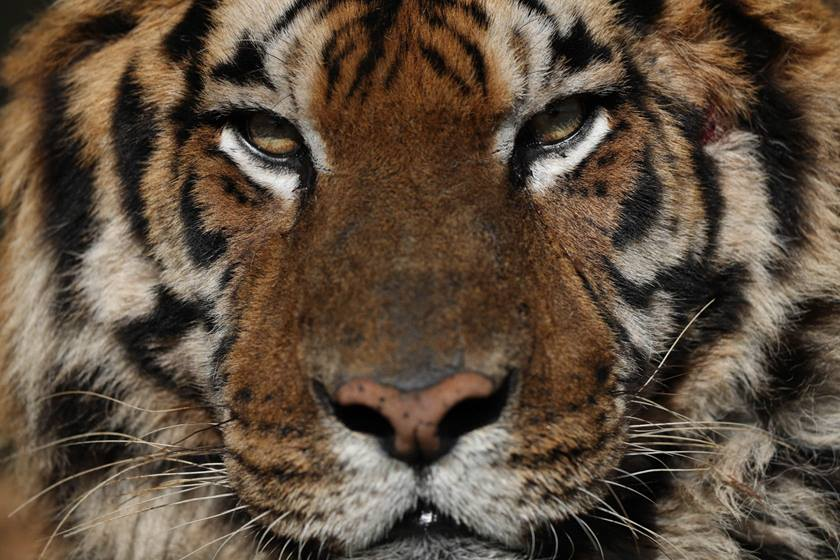 Tiger's face taken on Canon EOS-1DX Mark II DSLR camera