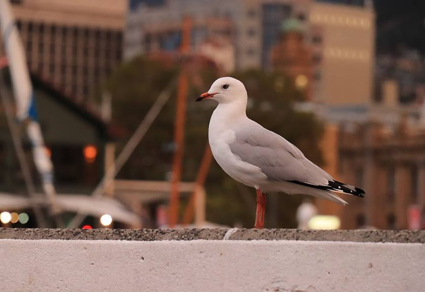 Image of a seagull - Sample image taken with Canon 200D
