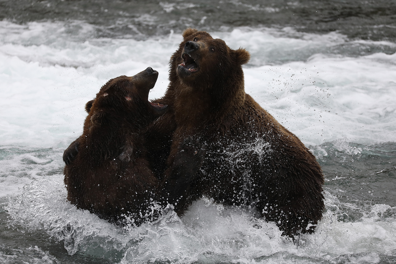 Bears fighting in the water