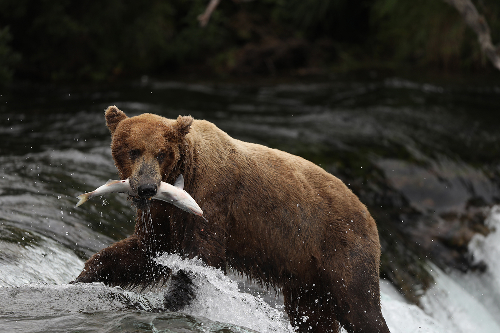 Bear with fish in mouth