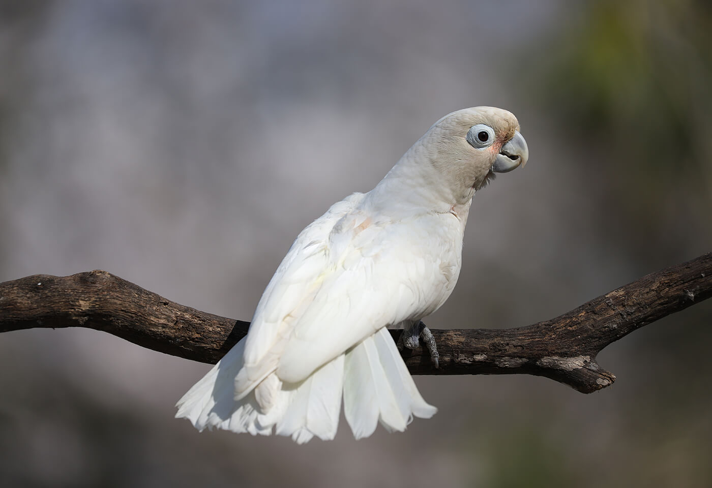 White galah - sample photo by Canon EOS 6D Mark II