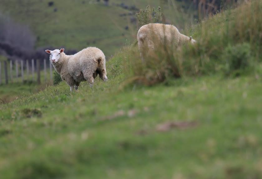 Image of sheep in a field taken using EOS 77D