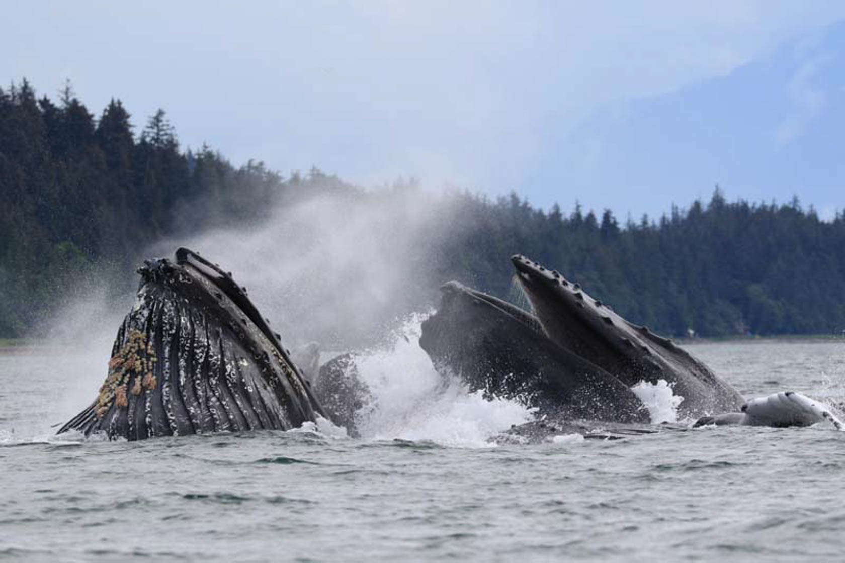 Breaching whales taken on Canon EOS 7D Mark II camera