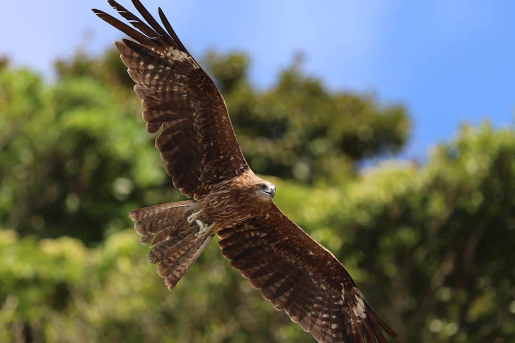 Eagle in flight captured on canon EOS 7D Mark II camera
