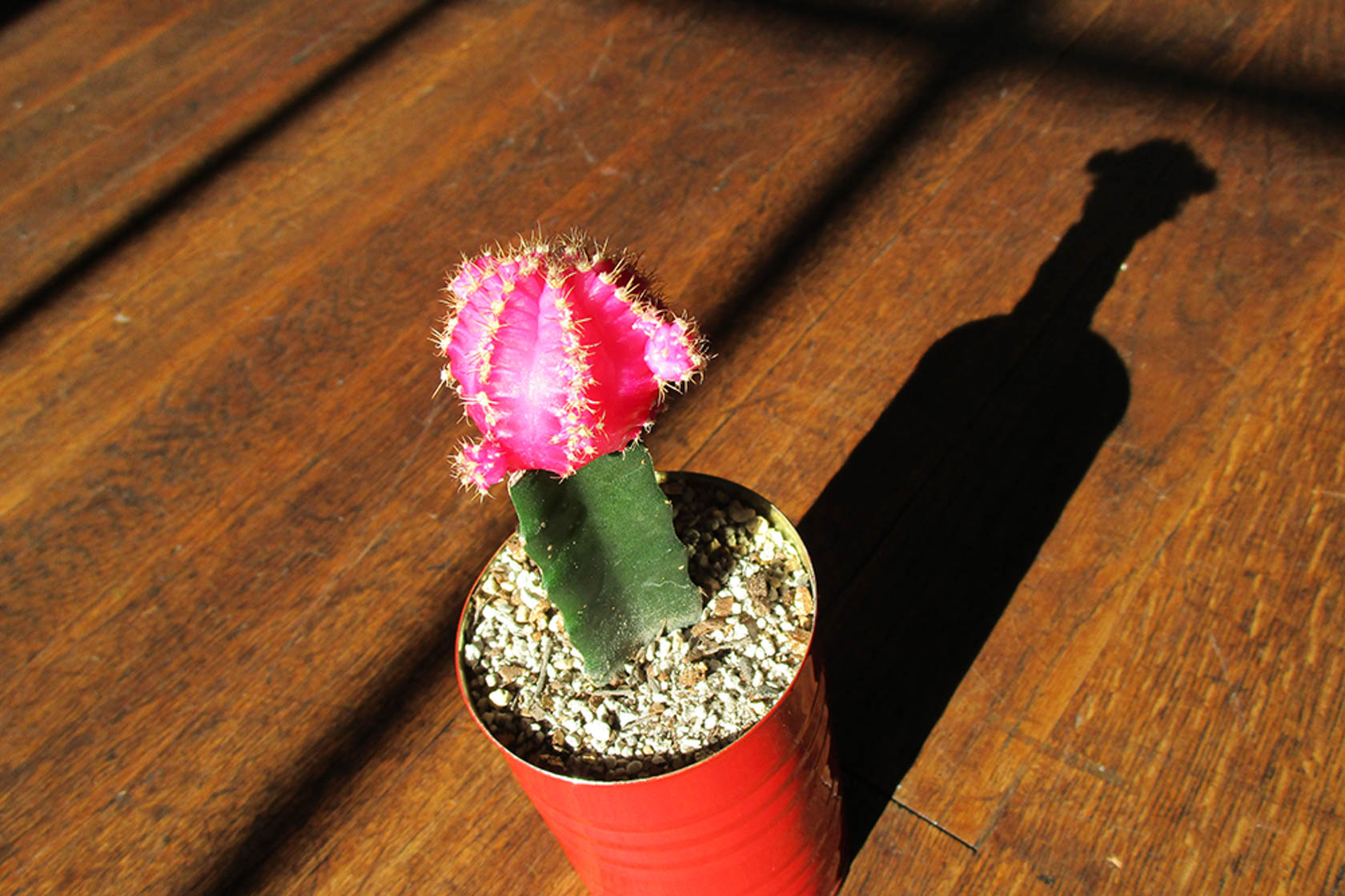 Image of a cactus with a pink top shot on the IXUS 180