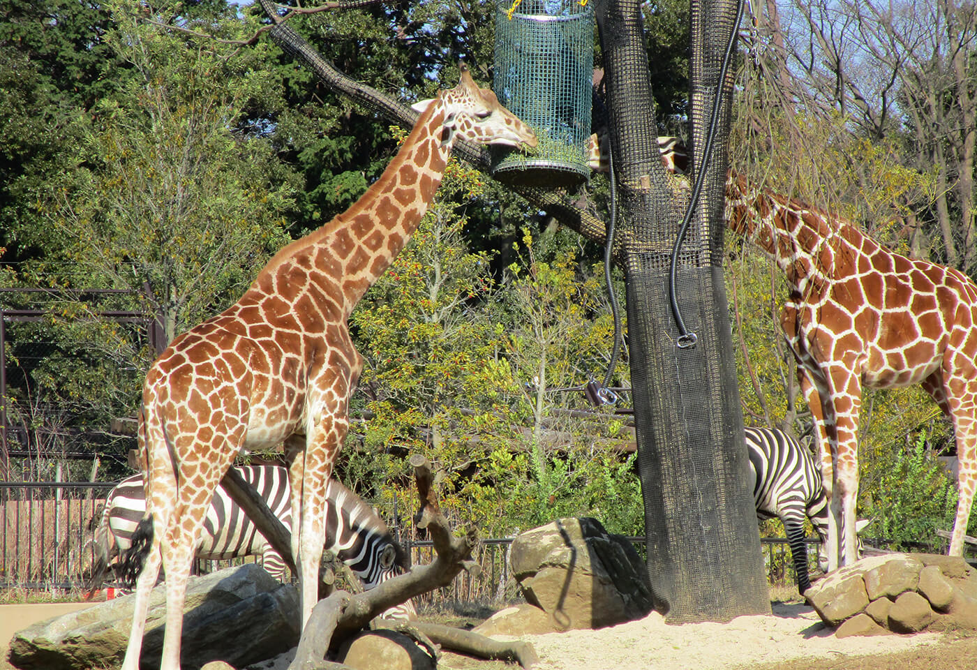 Image of giraffes in a zoo