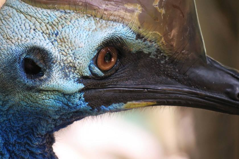 Cassowary face close up on the PowerShot G3 X
