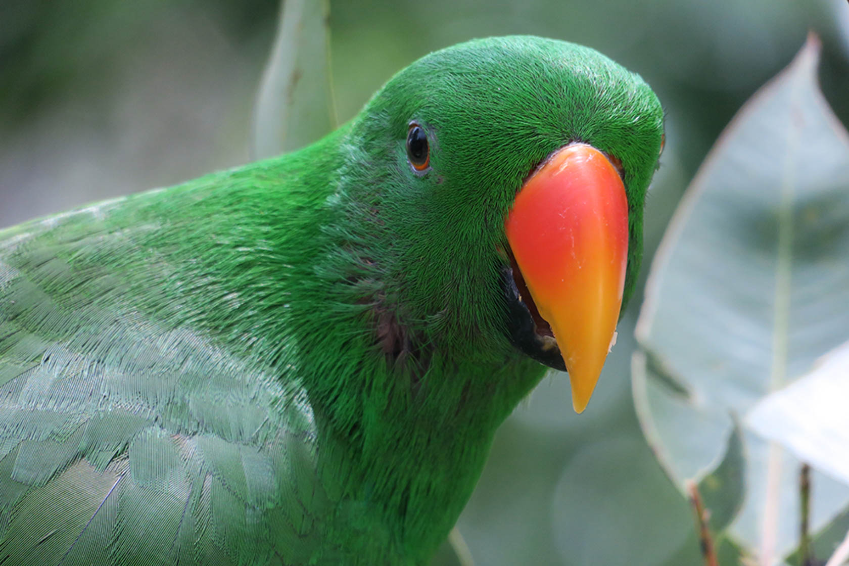 Green bird with a red beak close up shot on the PowerShot G3 X