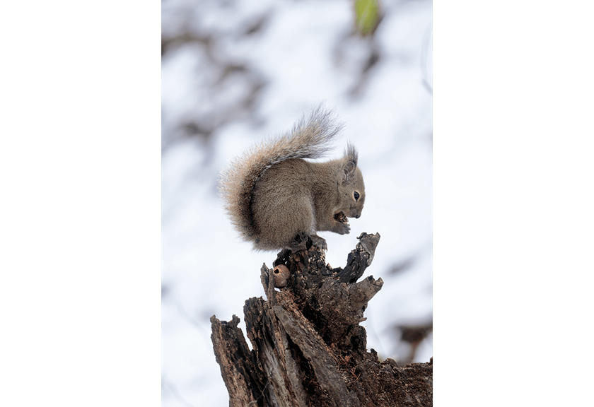 Close up shot of squirrel taken using RF 600mm F11 IS STM