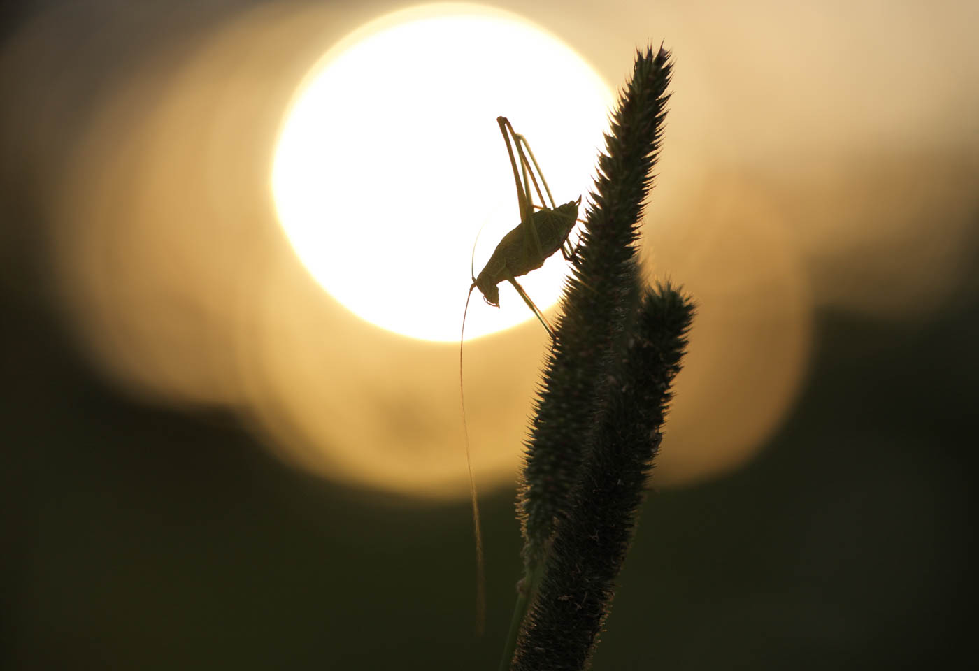 Cricket on a plant at sunset