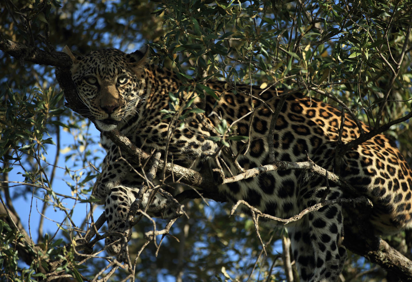 Cheetah lying in a tree