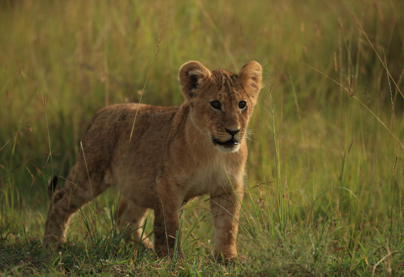 Lion cub taken with Canon EF Extender 2.0x III lens