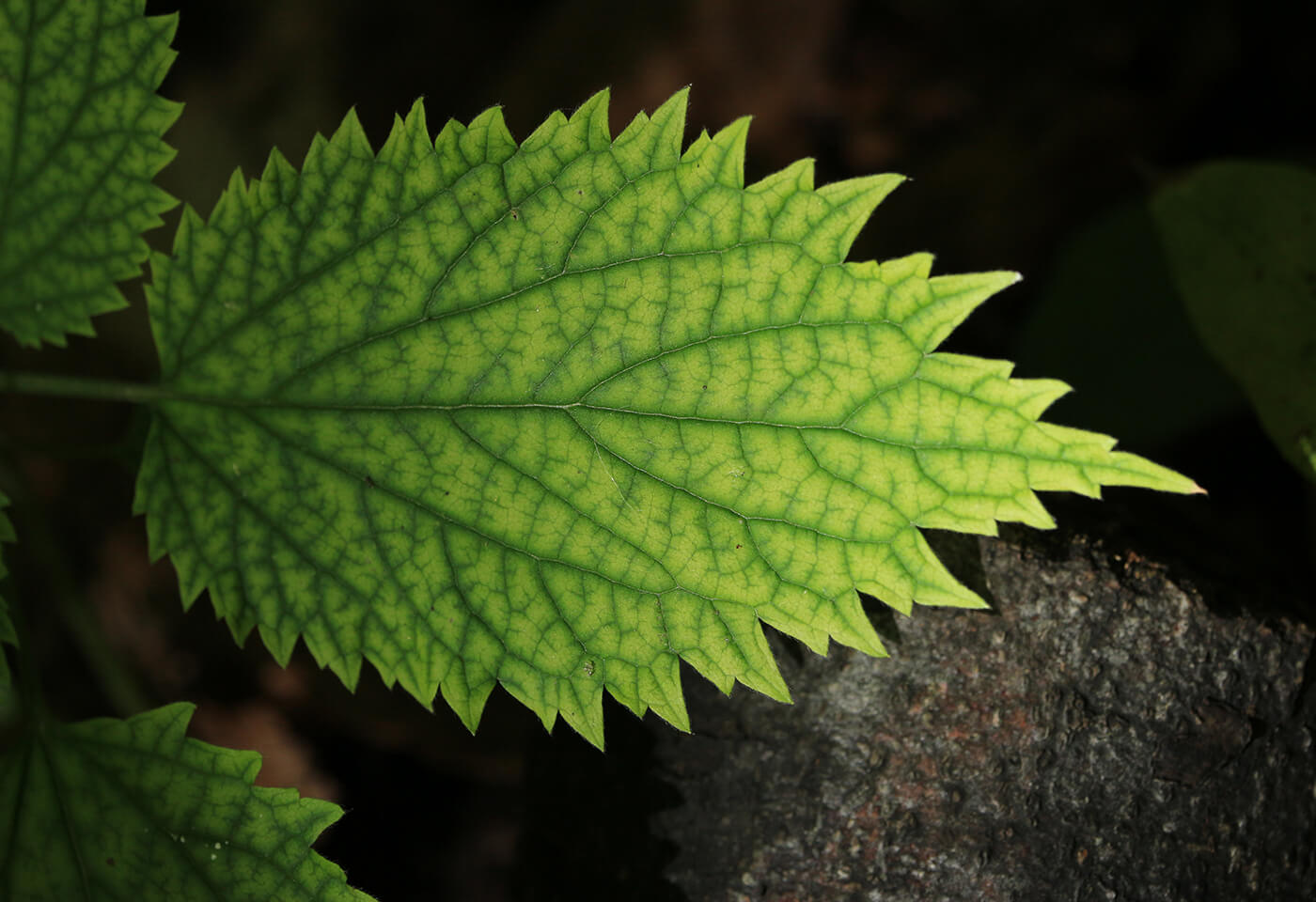 Image of leaf captured by Canon Camera with EF-S 55-350mm f/4-5.6 IS STM lens