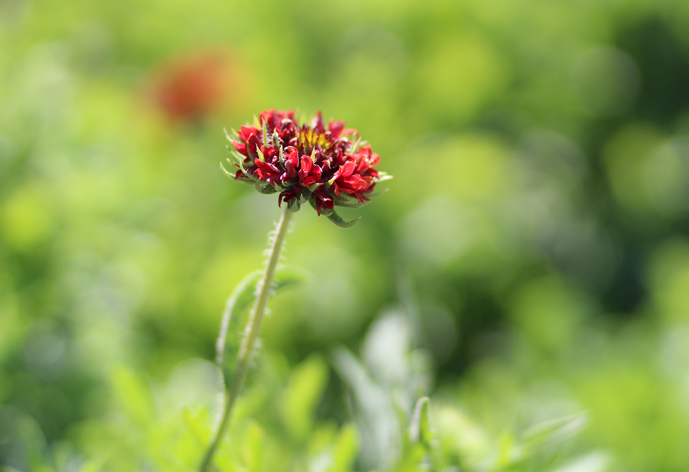 Red flower in the grass