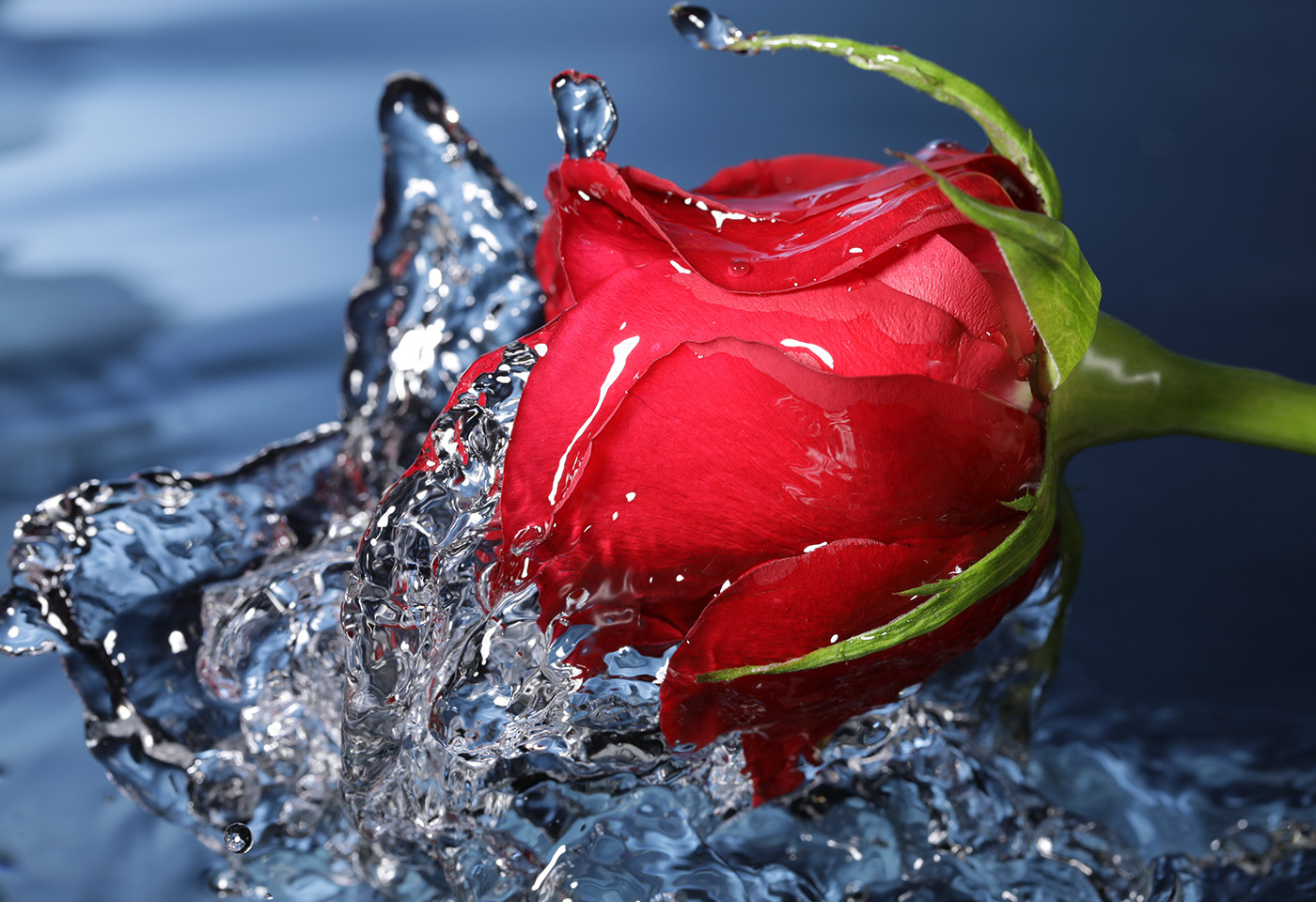 Rose in the water