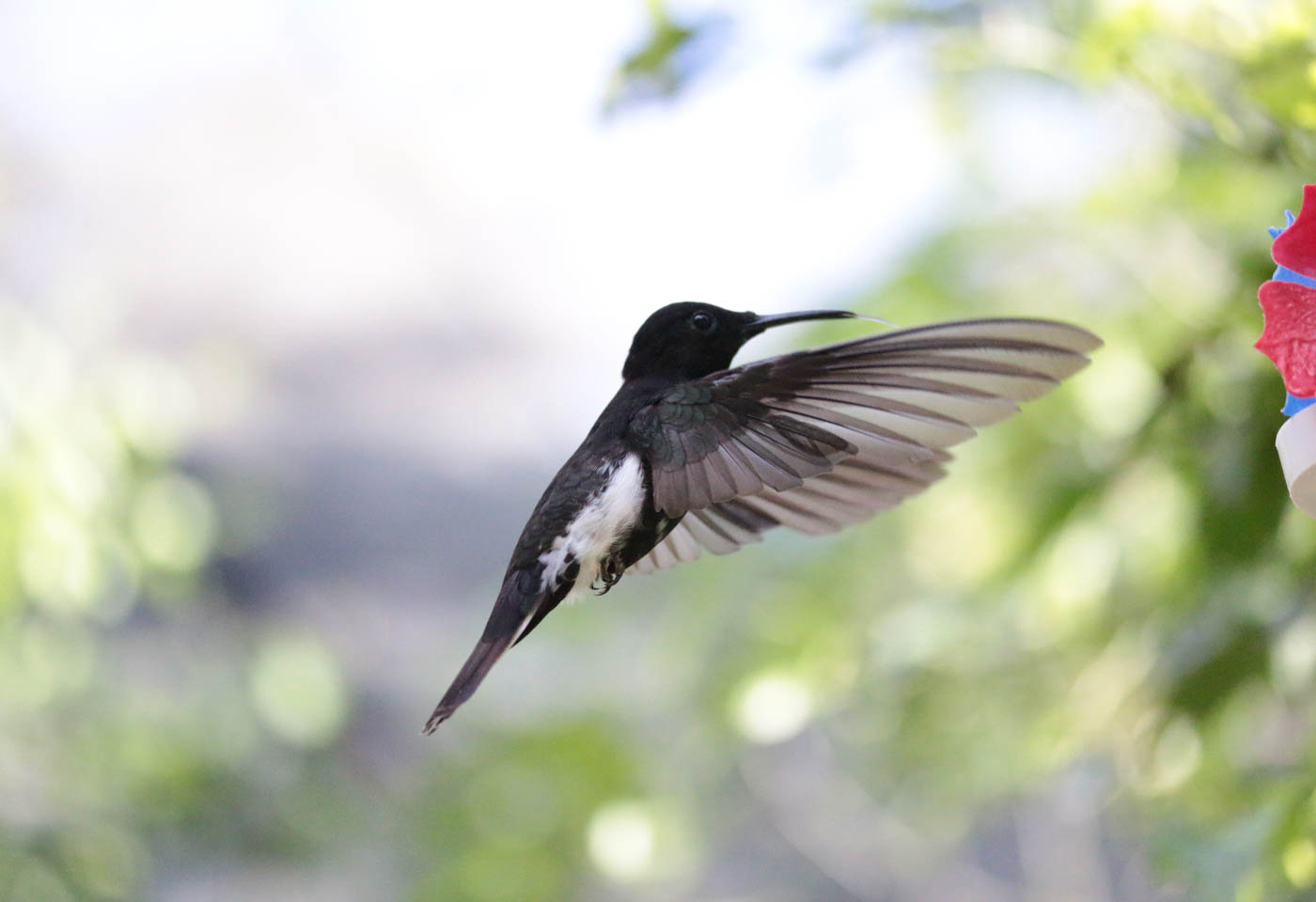 Bird in flight taken with Canon EOS 70D DSLR camera