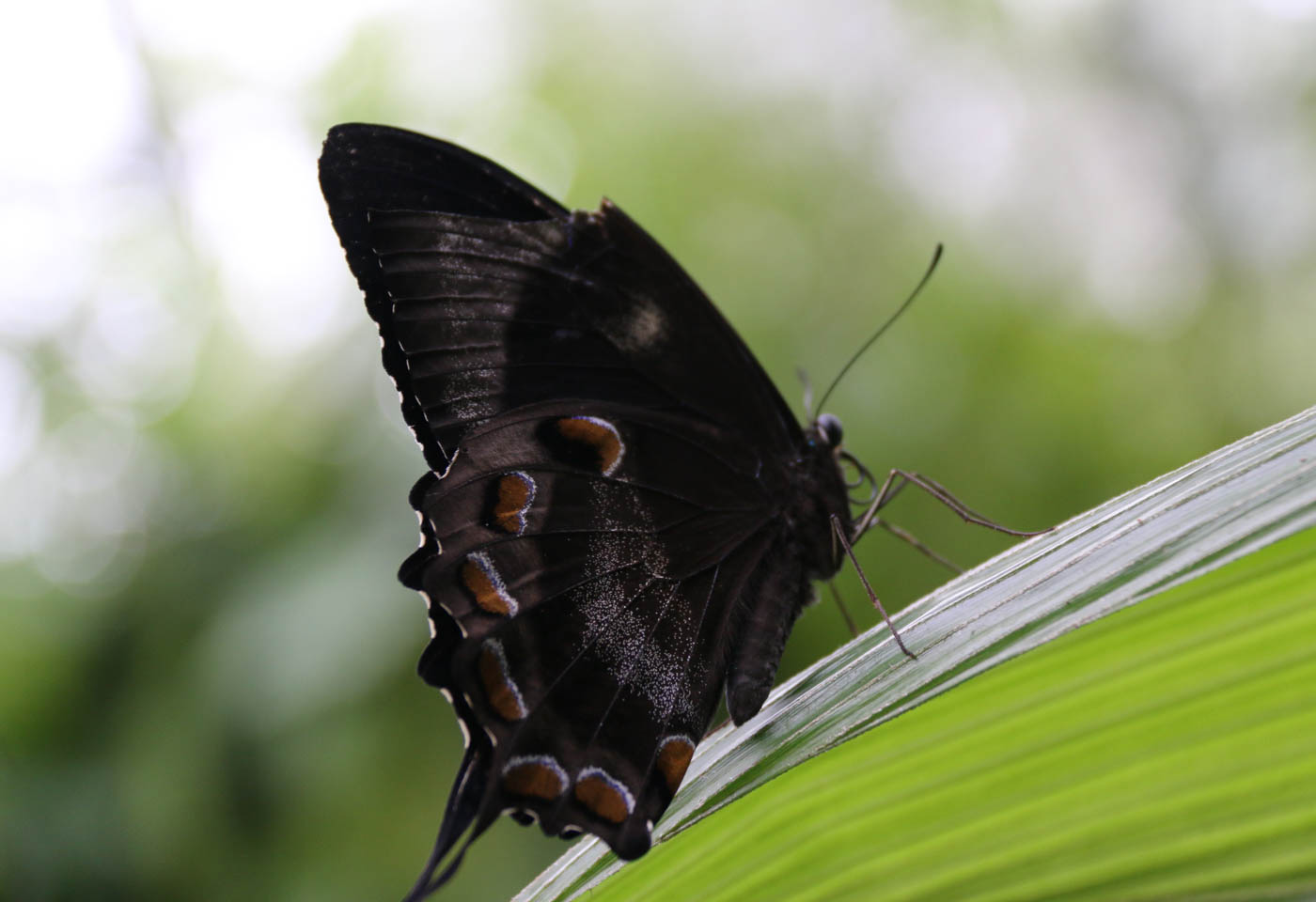 Black butterfly taken with Canon EOS 70D DSLR camera
