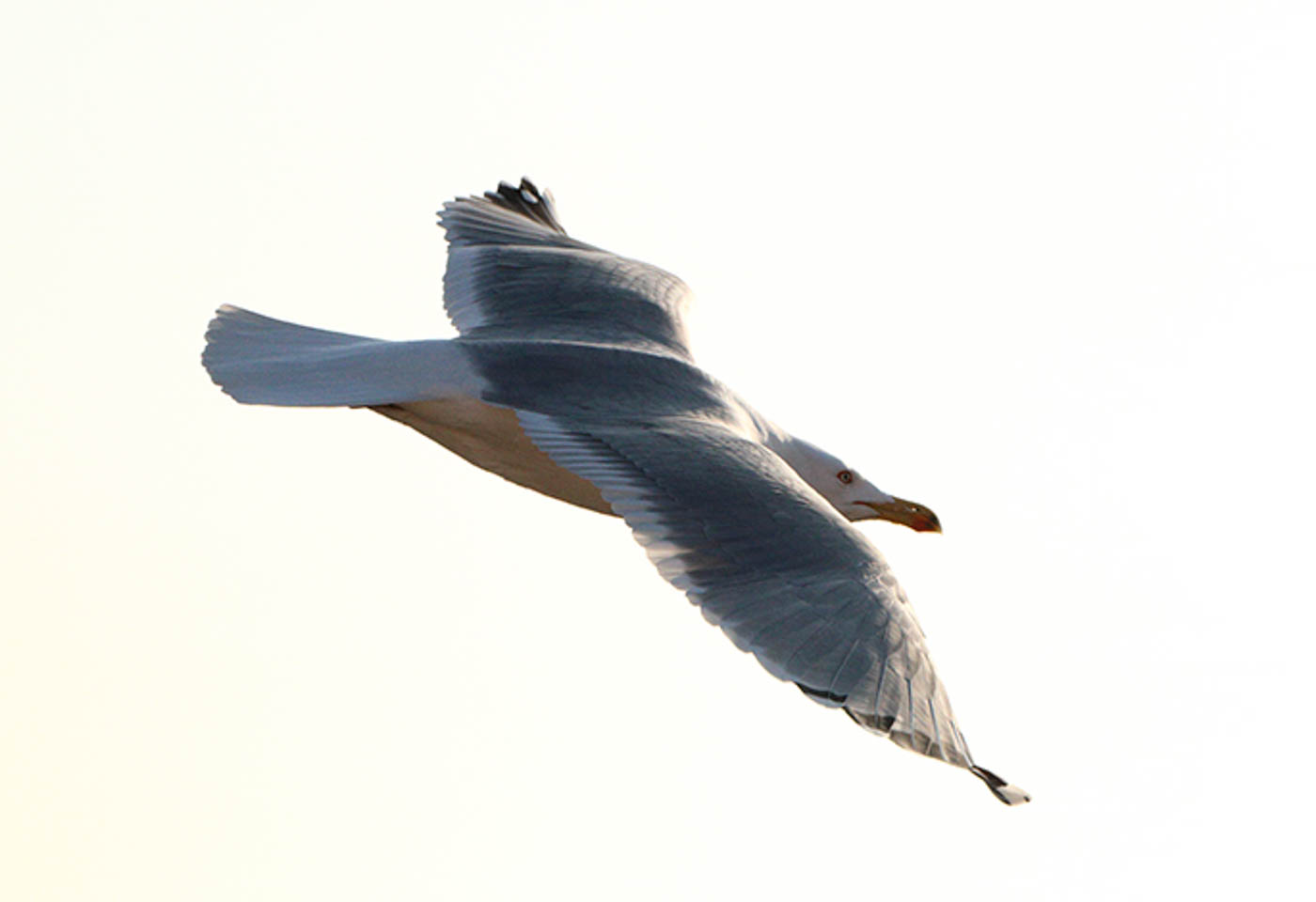 Flying seagull taken by Canon EOS 760D DSLR camera
