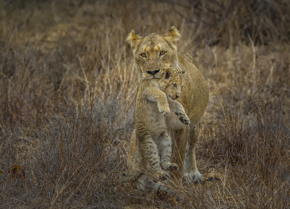 portrait image of lion holding cub in mouth
