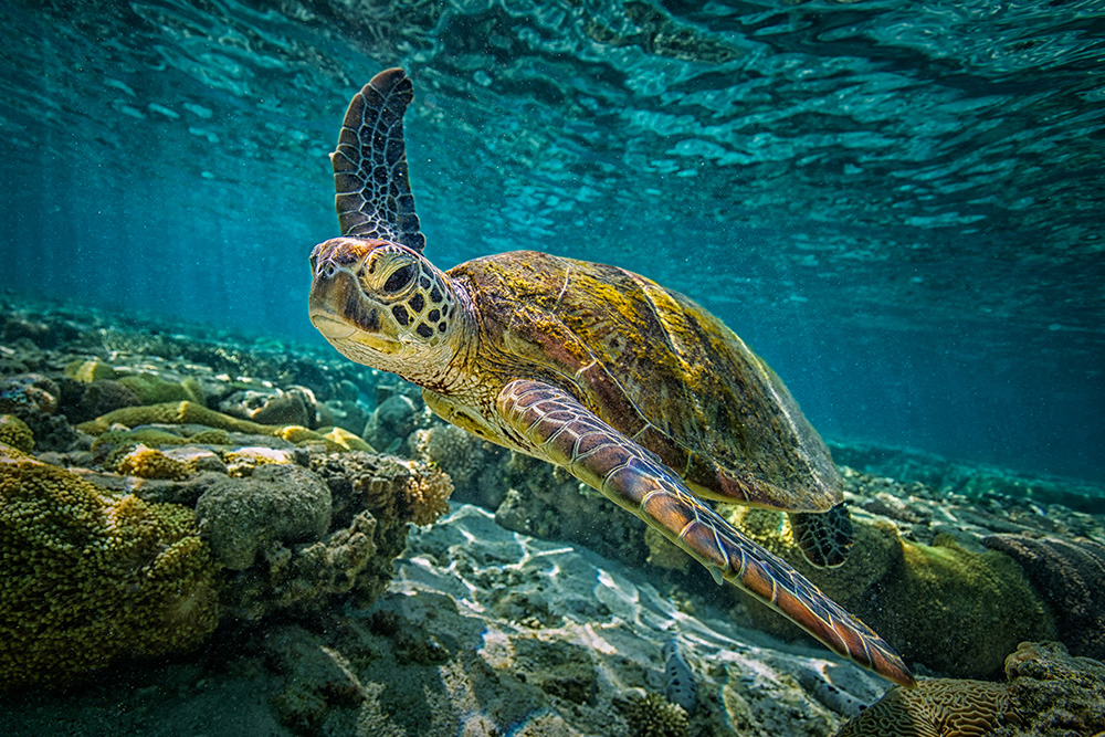 underwater image of a seaturtle