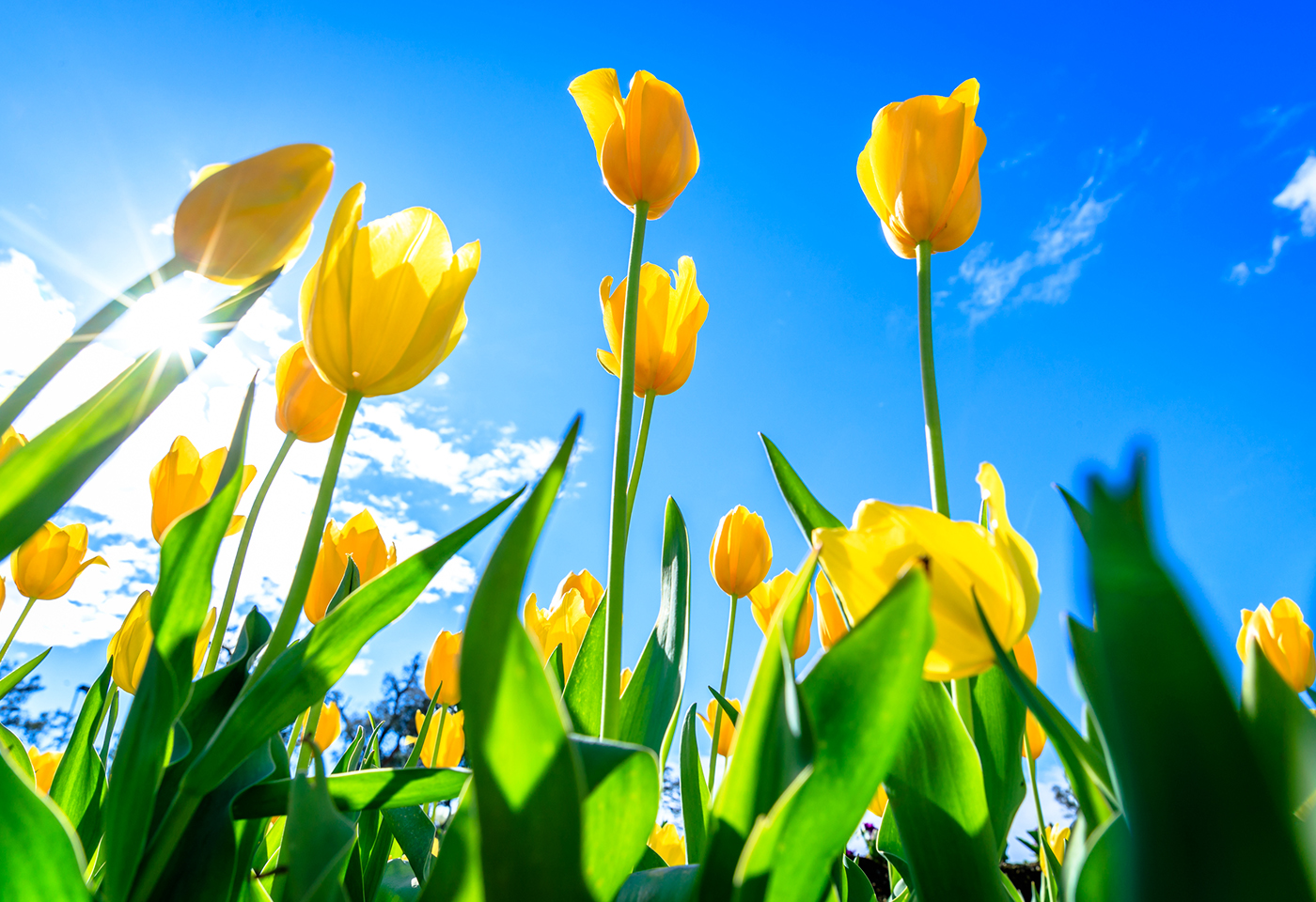 Image of yellow tulips and blue sky