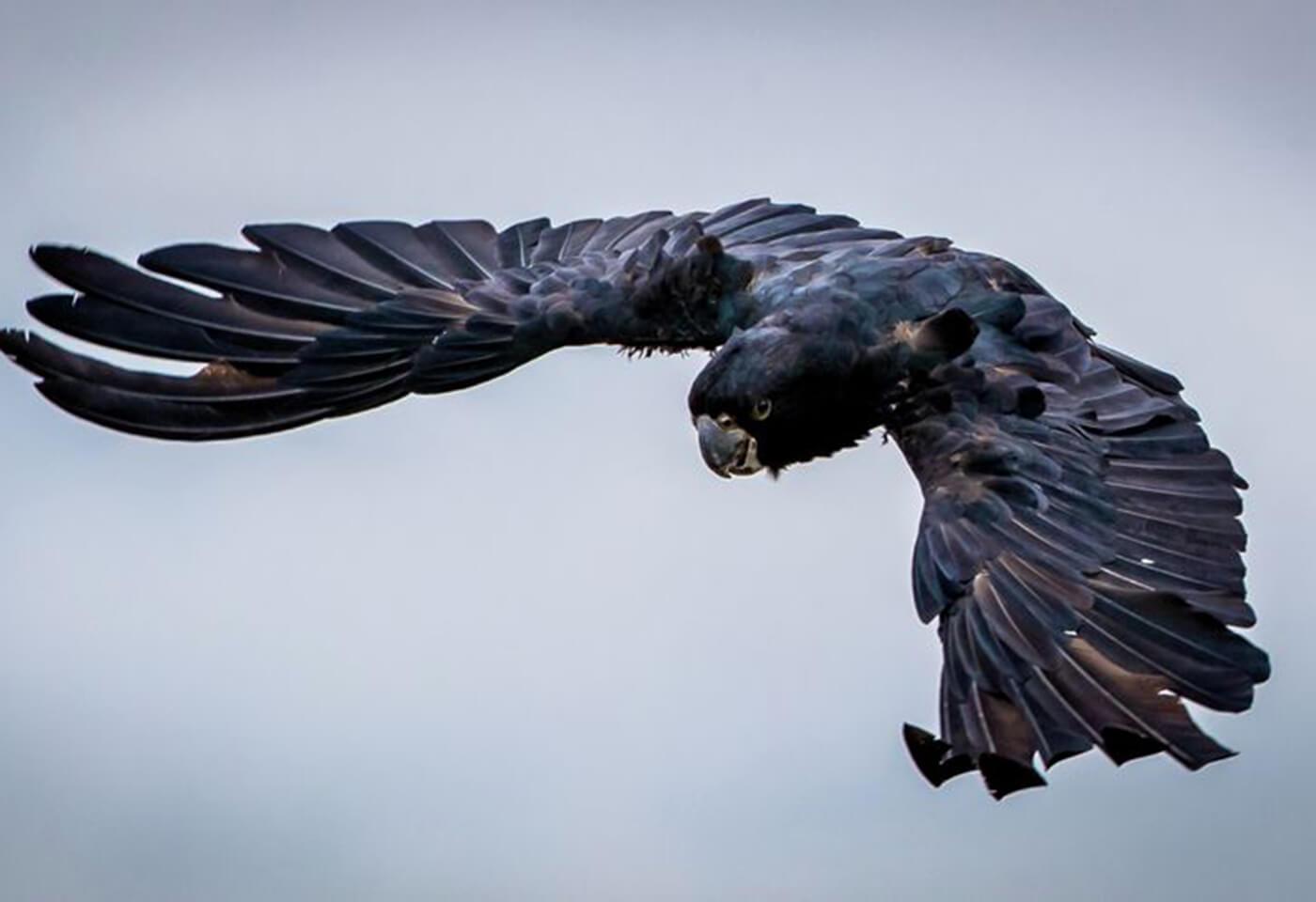 black bird wings spread flying