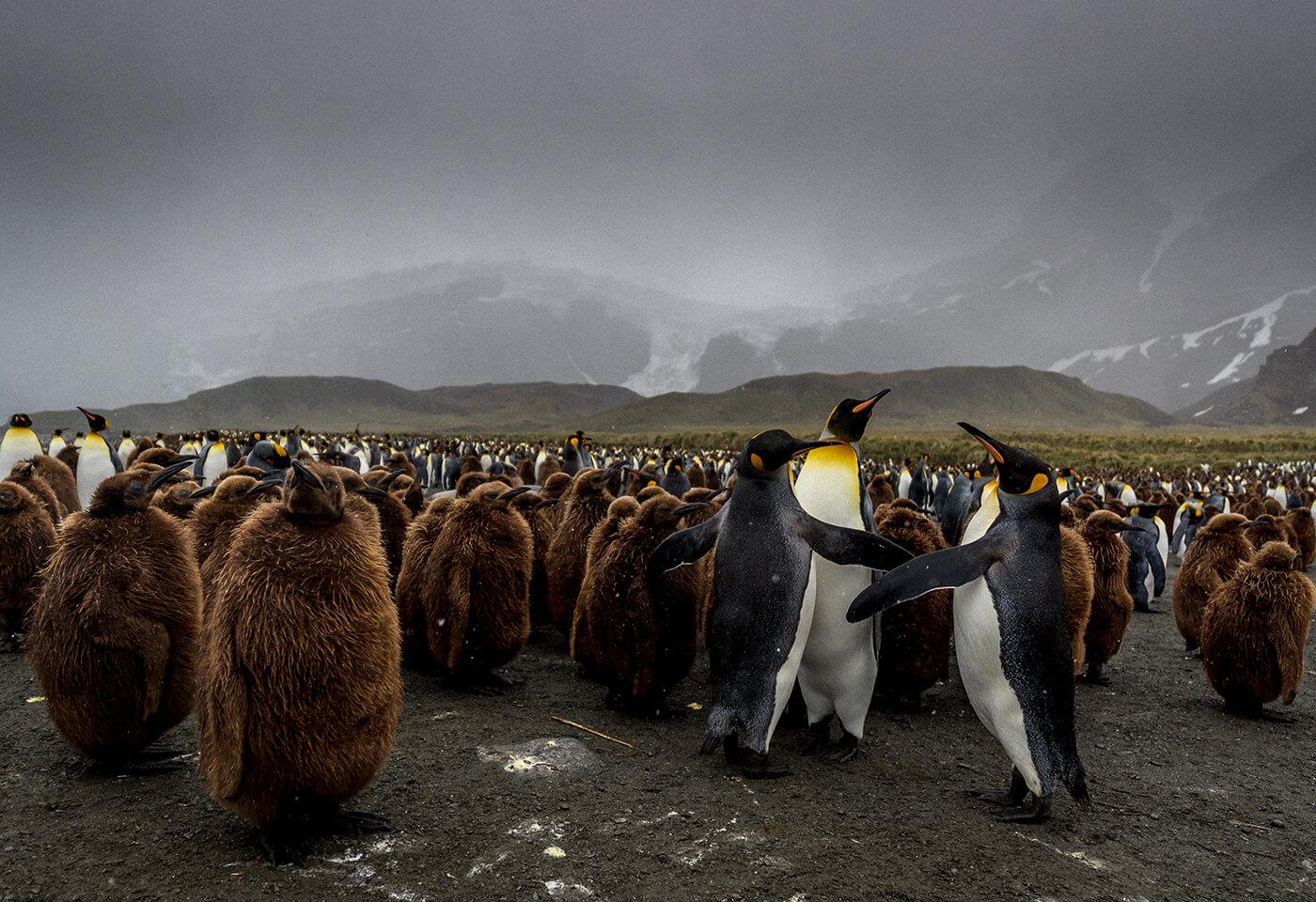 Landscape image of penguins