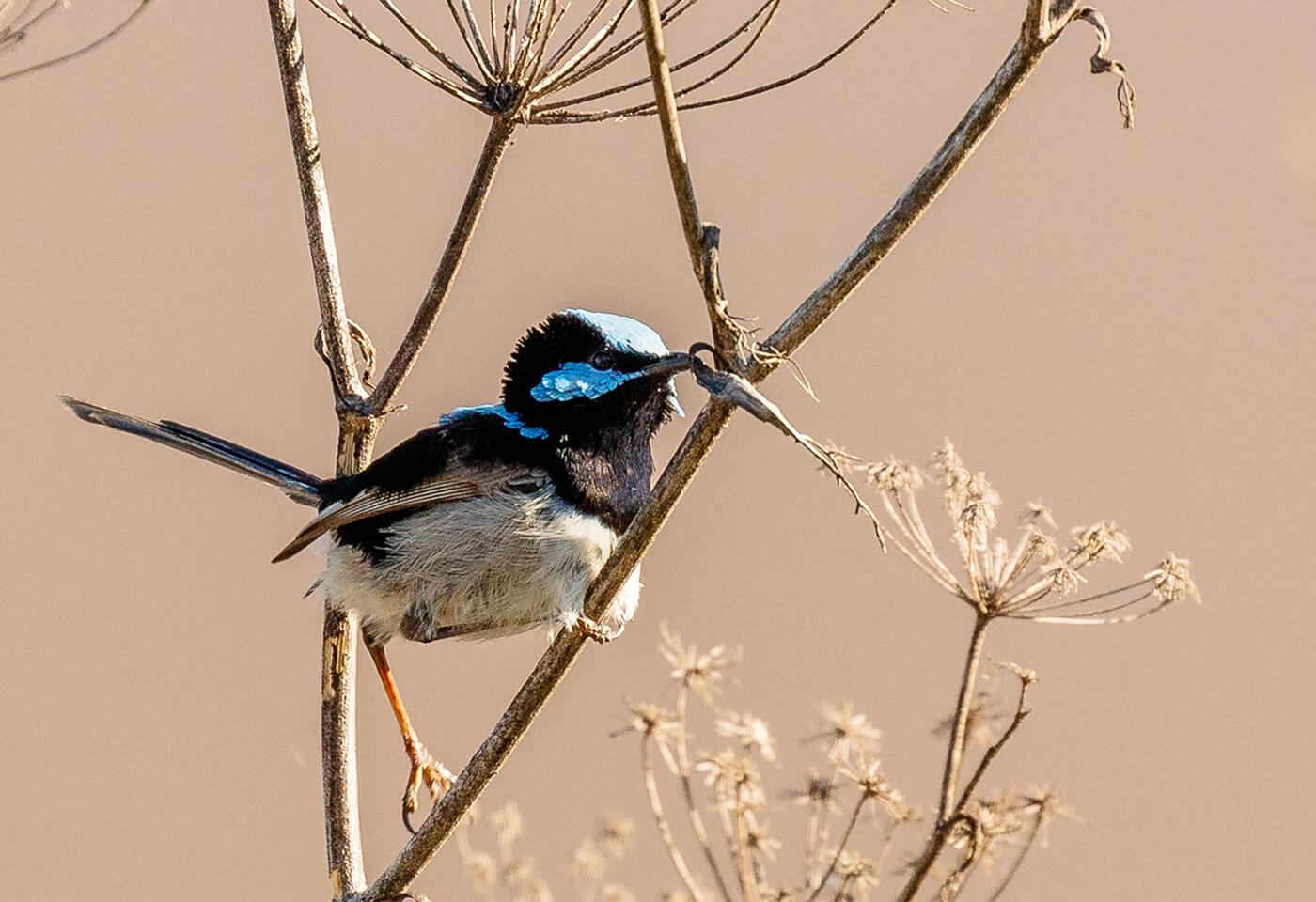 Blue-faced Honeyeater Bird on Dandelions